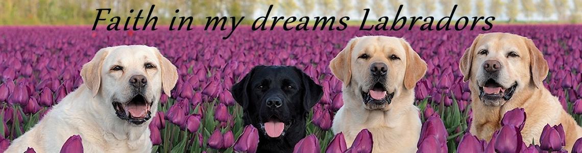 Faith in my dreams Labradors